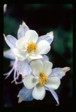 Columbine flowers in the Wind Rivers
