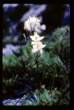 Columbine plant in the Wind Rivers