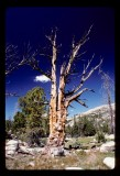 Lodgepole Pine Snag in the Wind Rivers