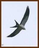 kite-swallow-tailed 8-10-08 4d909b.JPG