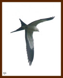 kite-swallow-tailed 8-10-08 4d908b.JPG