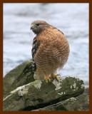 hawk-red-shouldered 1-16-09 4d931b.JPG