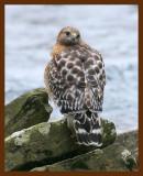 hawk-red-shouldered 1-16-09 4d927b.JPG
