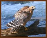 hawk-red-shouldered 1-19-09 4d421b.JPG