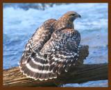 hawk-red-shouldered 1-19-09 4d422b.JPG