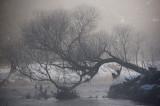 26th December 2009  fallen tree