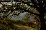 27th October 2007  oak tree