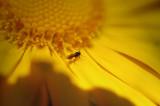18th April 2008  big yellow daisy
