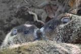 Two baby Woodchucks