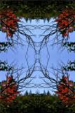 Maplevine