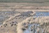 Browsing Sandhill Cranes