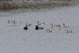 American Avocets and Scaups