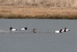 Canvasbacks in driving rain