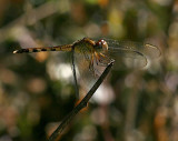 Band-winged Dragonlet f