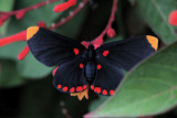 Red-bordered Pixie