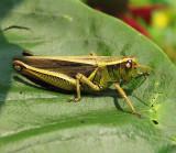Dichromorpha viridis