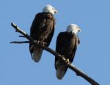 Bald Eagle_005
