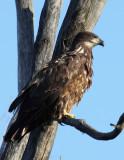 Bald Eagle-Immature_004