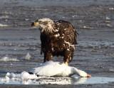 Bald Eagle-Immature_005