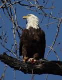 Bald Eagle_007