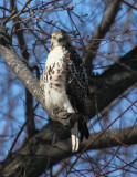 Red Tailed Hawk 001