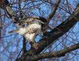 Red Tailed Hawk 002