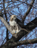Red Tailed Hawk 004