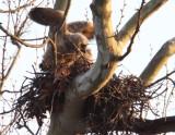 Great Horned Owl_im 02