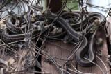 Red-sided Garter Snake 006