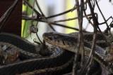 Red-sided Garter Snake 005