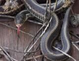 Red-sided Garter Snake 003