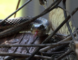 Red-sided Garter Snake 002.