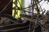 Red-sided Garter Snake 008