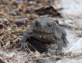 Eastern American Toad 001