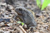 Eastern American Toad 002