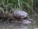 Painted Turtle 001