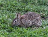 Cottontail Rabbit 001