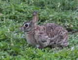 Cottontail Rabbit 002
