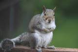 Gray Squirrel 001