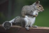 Gray Squirrel 002