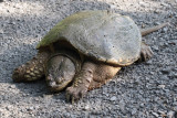Common Snapping Turtle 001