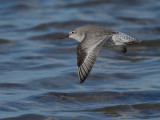 Gallery Red Knot