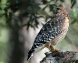 Red-shouldered Hawk and Carolina Wren