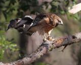 Blue Jay attacks Hawk
