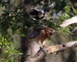 Hawk Video 3