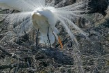 Great White Egret Pair With Eggs In Nest