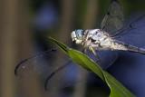 Swift Blue Darter01
