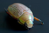 Christmas Beetle