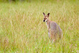 Wallaby II