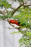 Australian King Parrot - Male